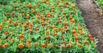 Как выращивать Бархатцы