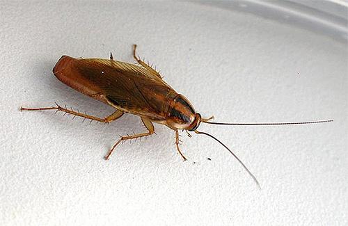 таракан домашний фото