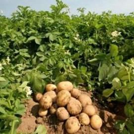 Вирощування картоплі на дачній ділянці