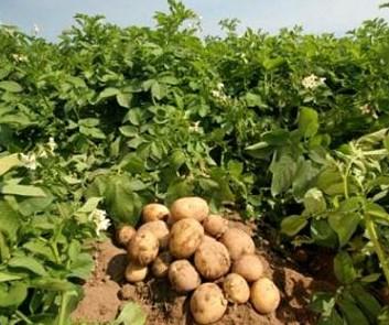 Вирощування картоплі
