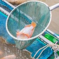 วิธีการเลี้ยงปลาทับทิมในกระชัง