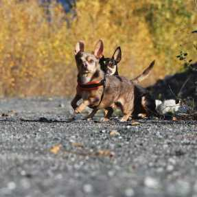 Chihauhau Mix Hunde beim Fotoshooting Action in Bewegung Fotografie Apportiert Chihauhaumix