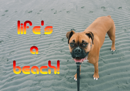 Boxer dog Lifes a beach