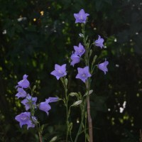 A-Z of Perennials: C is for Campanula