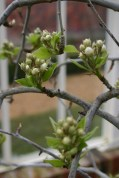 Conference Pear about to blossom in the Orchard House
