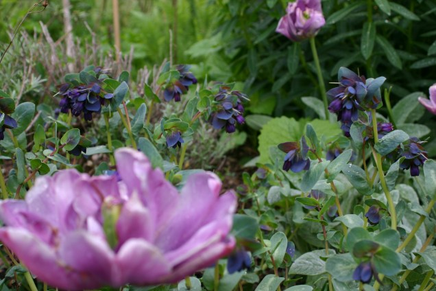 Combo 1: Pink Tulips and Cerinthe