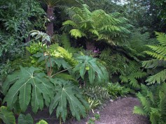 Tetrapanax at The Exotic Garden, Norwich