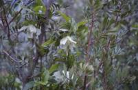 Clematis cirrhosa flowers- late winter into spring