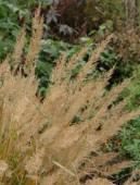 Calamagrostis brachytrycha