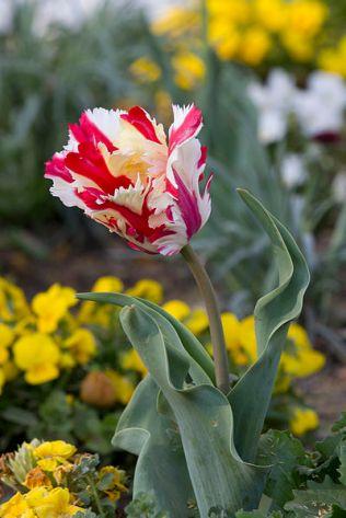 Tulip- flaming parrot cultivar