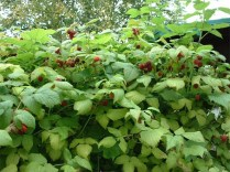 Raspberry plants with fruit
