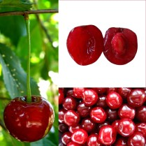Ripe sour or Morello cherries