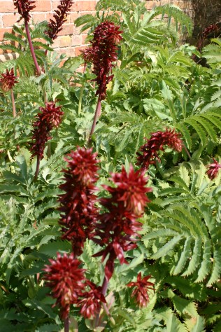 Melianthus close up