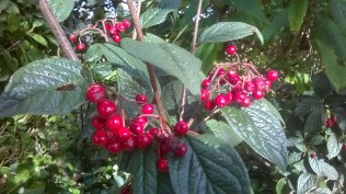Well- red berries on Cotoneaster