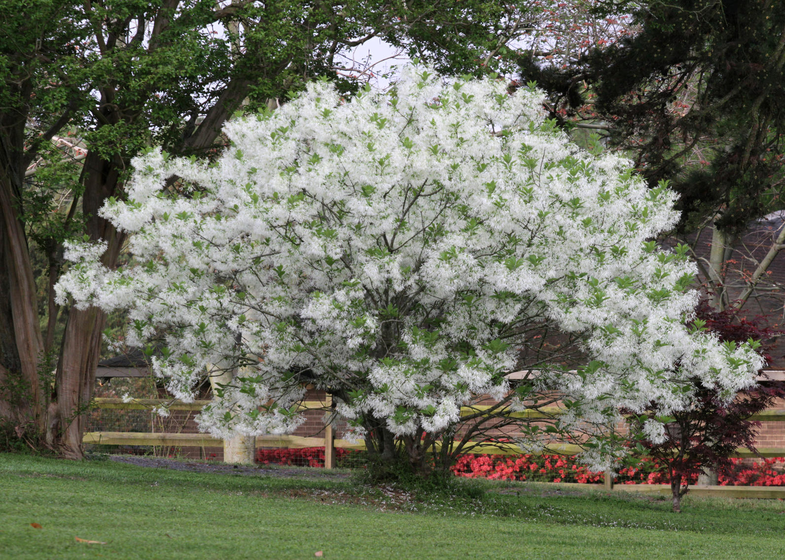 Plant Fringe Tree For Three Season Appeal Audubon North