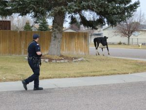 Officer pursuing escaped cow during slow-speed chase