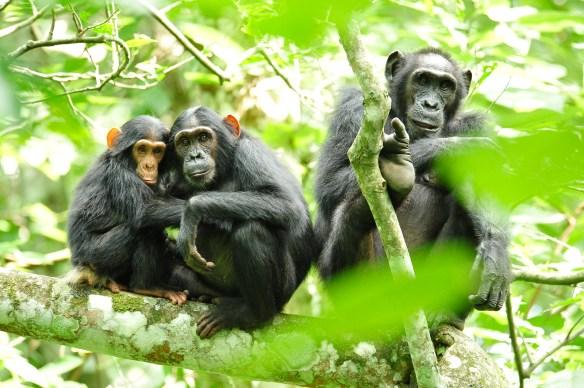 Chimpanzees_in_Uganda_(5984913059)