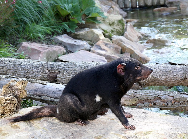 tasmanian devil sits, looking to the right