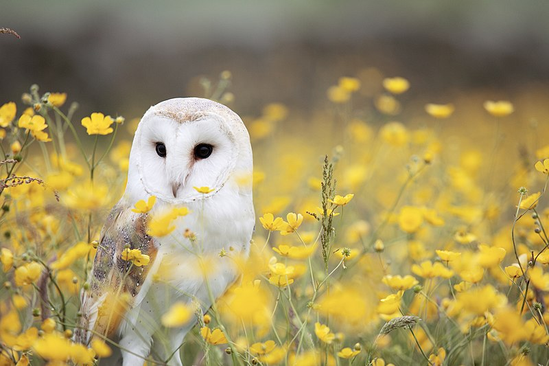 800px-Barn_Owl,_Manchester_area,_UK,_by_Andy_Chilton_2016-07-06_(Unsplash)