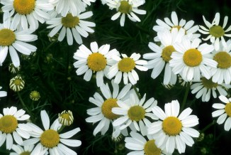 Image result for chamomile