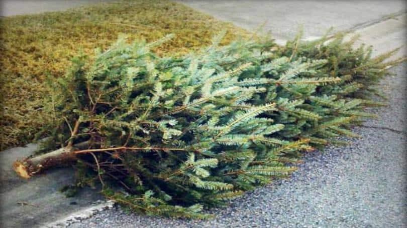 City of Carlsbad Free Christmas Tree Recycling | North ...