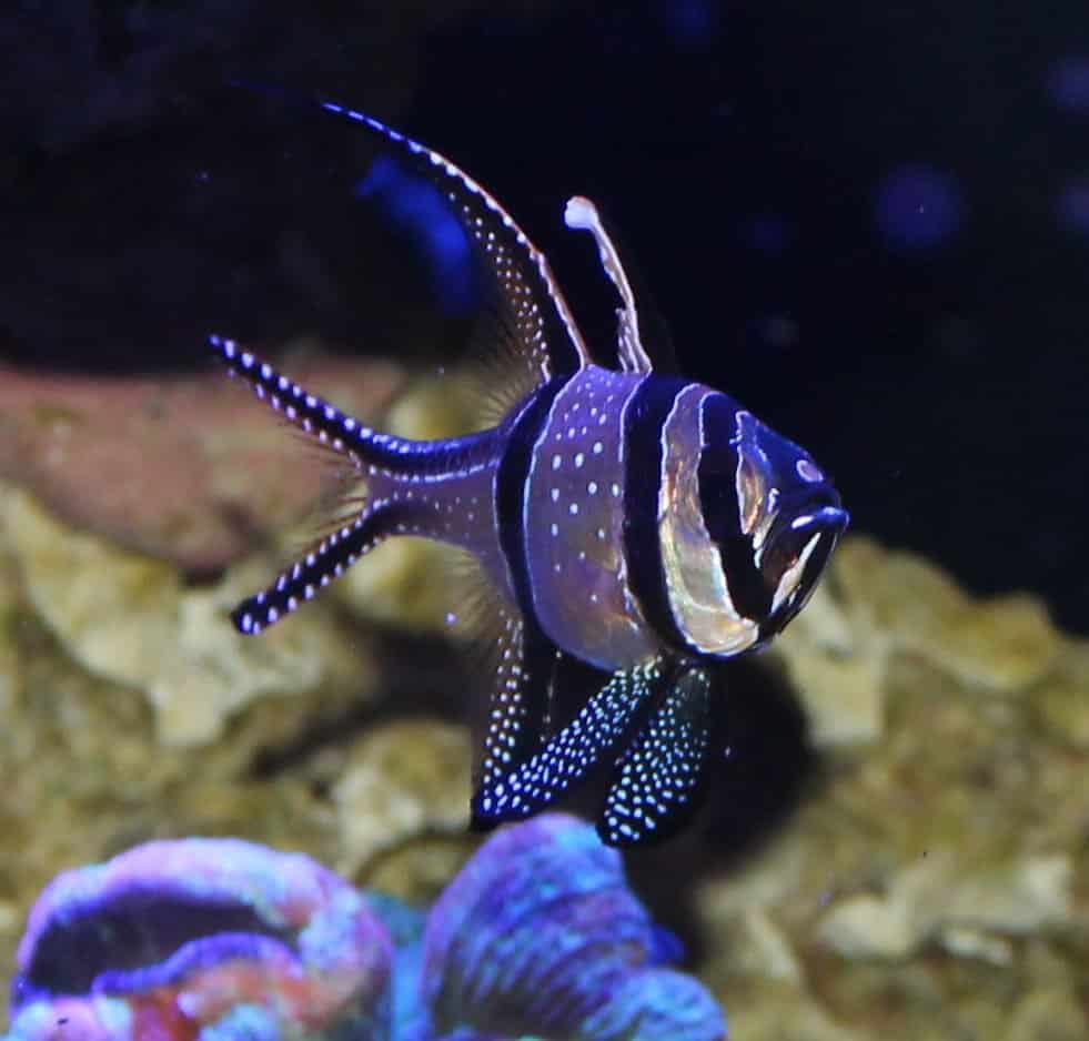 Saltwater fish saltwater aquarium fish north county for Nc saltwater fish