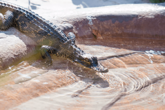 Crocodilian exhibit opens wide at Mote.