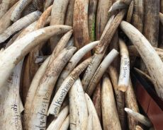 Importing of trophy elephant tusks may soon be legal