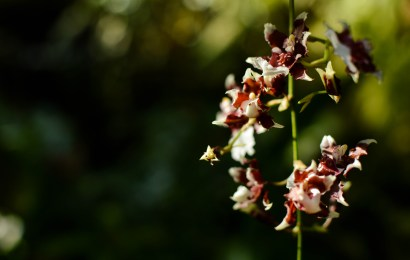 Selby Gardens displays rare hybrid and natural orchids at the Orchid Show