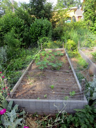 Recovering beans and zukes - NC Garden Gals