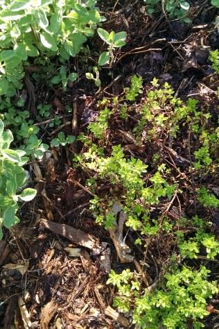 Oregano and lemon thyme - NC Garden Gals