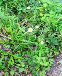 Pea Creek Daisy