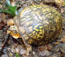 Eastern Box Turtle1