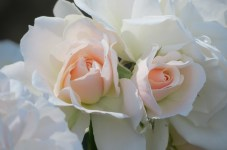 'Pair of Roses' by @NCTreesPhotography