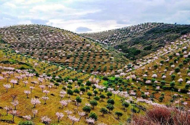 Amendoeiras em Flor (Foz Côa)