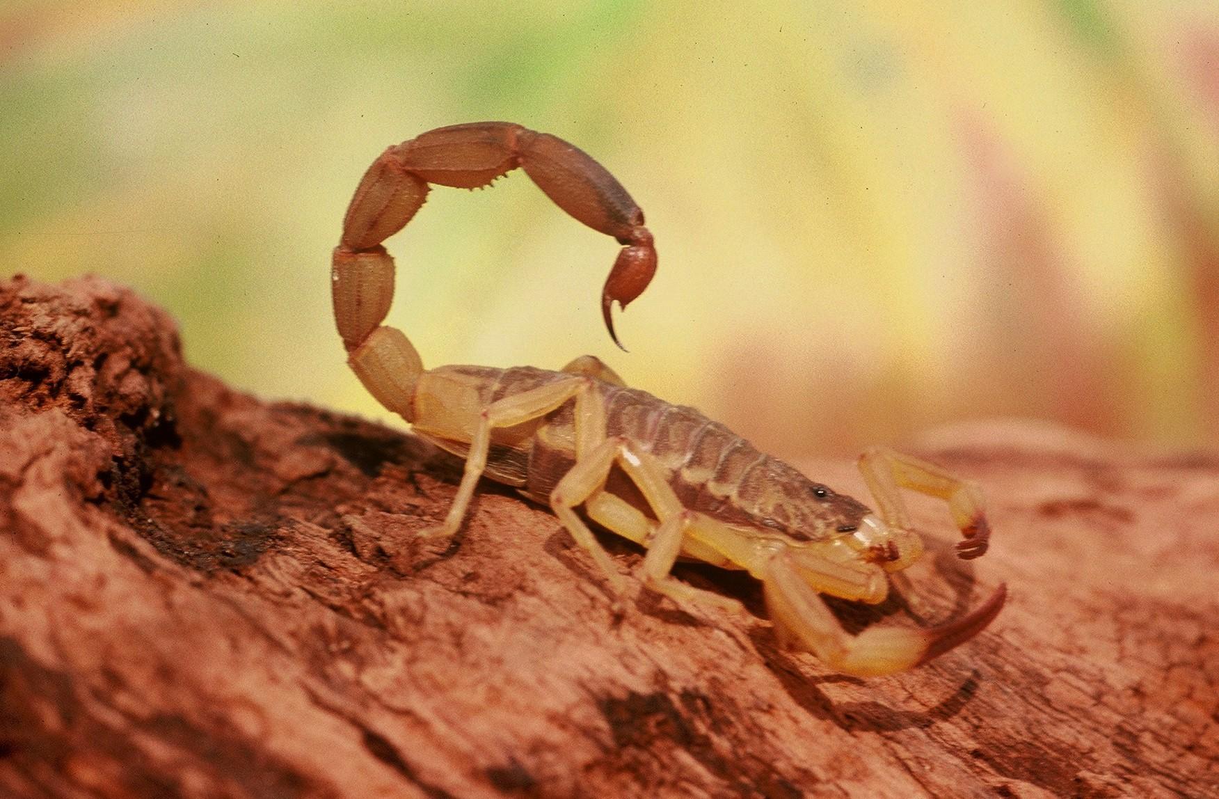 Escorpião Perseguidor de Morte