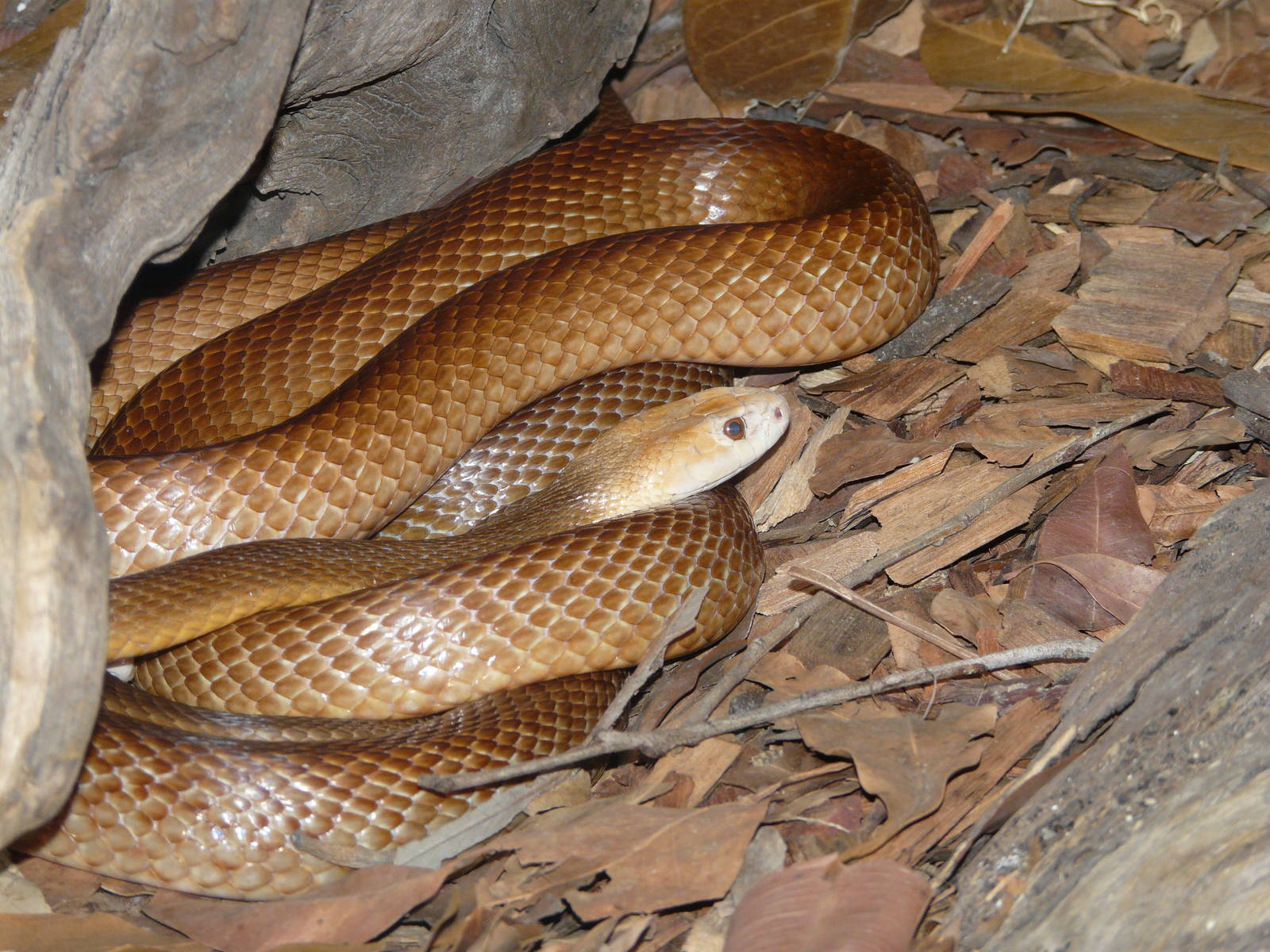 Cobra Taipan terrestre