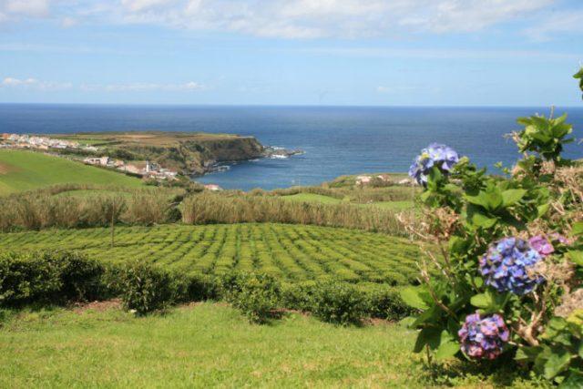 Descoberta no chá dos Açores substância que combate Parkinson e Alzheimer