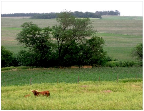 Texas Longhorn Cows in Nebraska