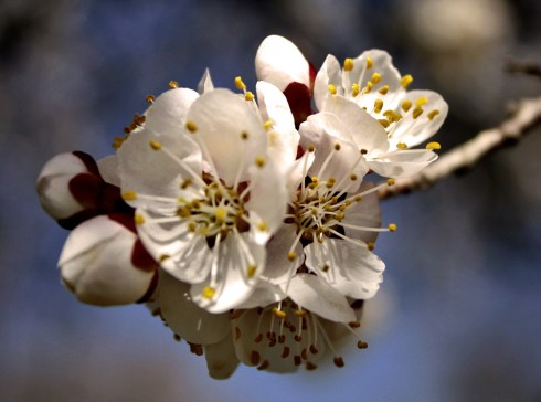 White flowering tree in spring