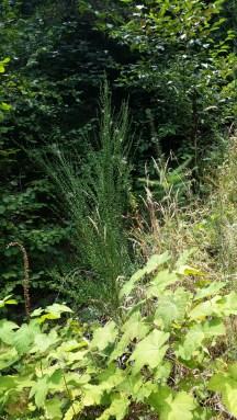 Scotch Broom (Invasive)