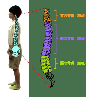 脊柱カーブ解説図