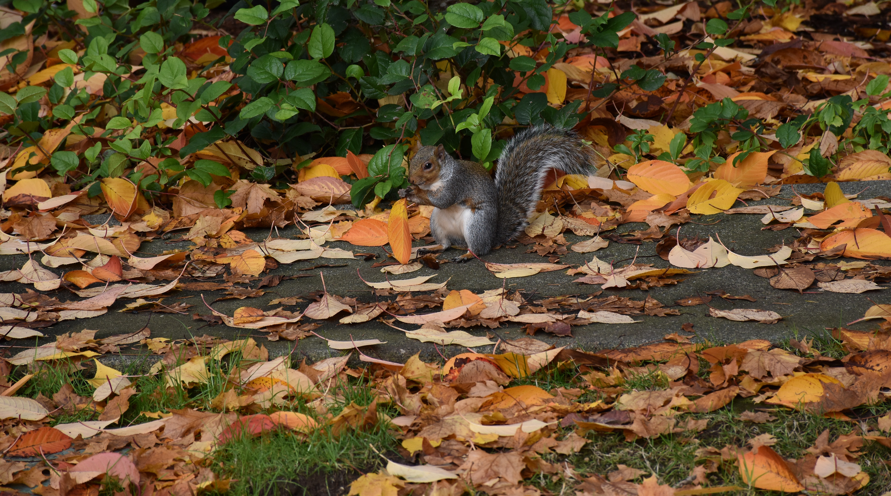 Squirrel eating among fall leaves