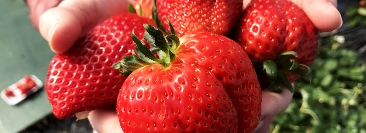 Delicious Strawberries At Yoshimura Strawberry Park In Mashiko