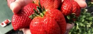 Delicious strawberries at Yoshimura Strawberry Park in Mashiko