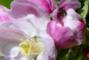 Spider devours a fly in apple blossom
