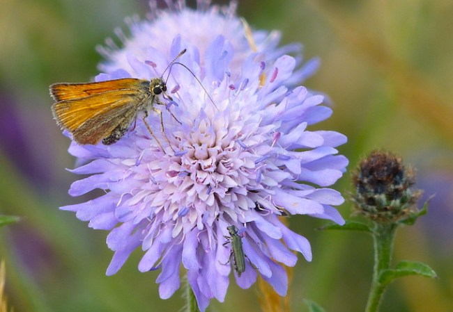 Essex Skipper and Field Scabious