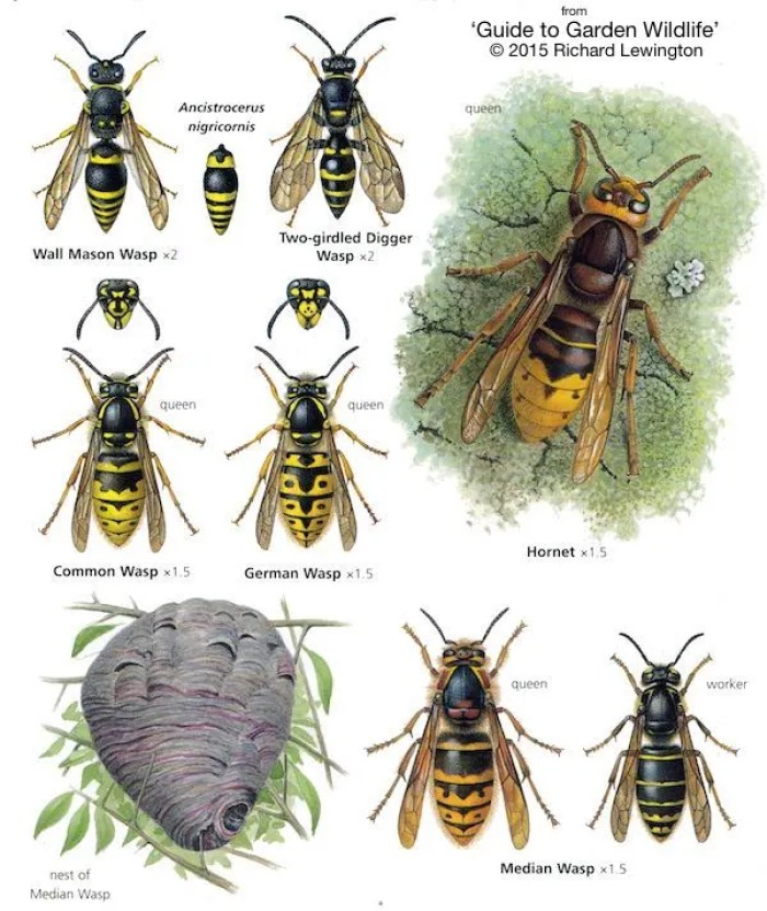 wasps Richard Lewington