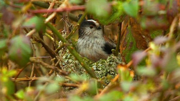 Long-tailed Tit nesting in brambles