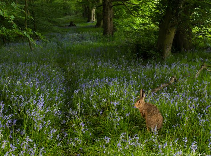 Hare in a bluebell wood